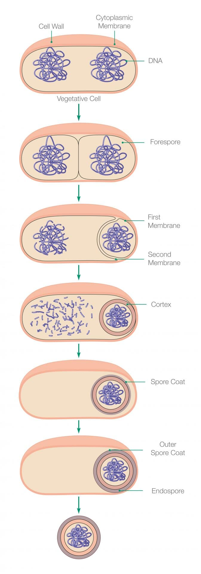 This diagram shows how a bacterial cell can form a disinfection-resistant coating called an endospore